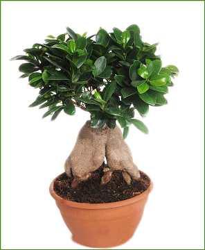 Planta De Interior - Planta Interior Hoja - Ficus Ginseng Tarrina 30cm
