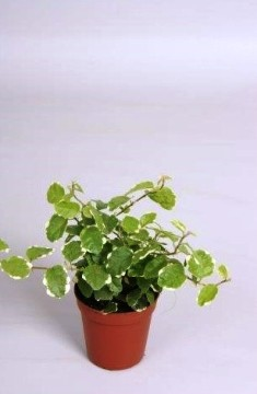 Planta De Interior - Planta Interior Hoja - Ficus Pumila Sunny Maceta 5,5cm Alto 10cm