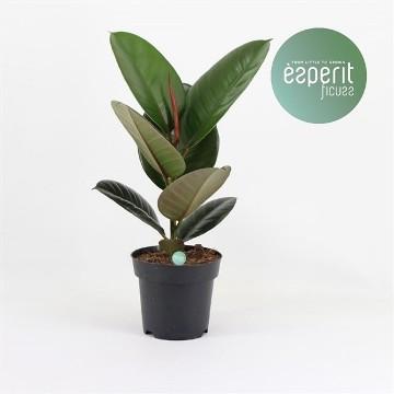 Planta De Interior - Planta Interior Hoja - Ficus Elastica Robusta 35cm Maceta 20cm