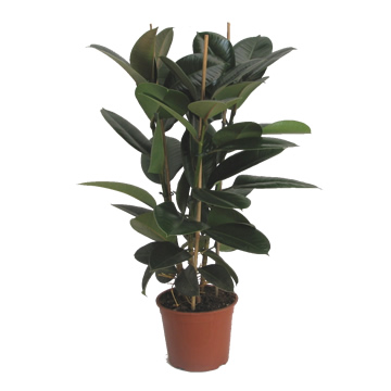 Planta De Interior - Planta Interior Hoja - Ficus Robusta 3cañas Altura 0,90 Maceta 20cm