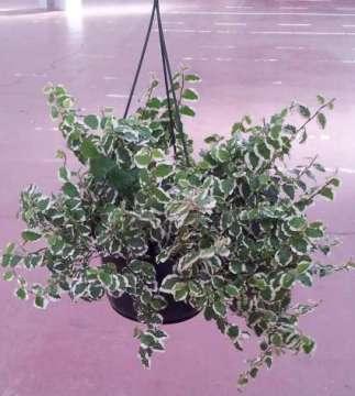 Planta De Interior - Planta Interior Hoja - Ficus Sunny Tarrina15cm Colgante
