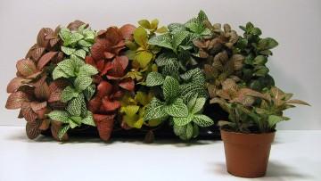 Planta De Interior - Planta Interior Hoja - Fittonia Maceta 8.5cm