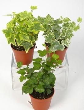Planta De Exterior - Trepadoras - Hiedra Maceta 8cm