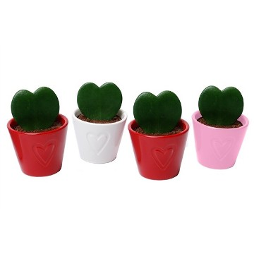 Planta De Interior - Planta Interior Hoja - Hoya Kerrii Corazon + Maceta Ceramica M8