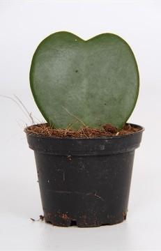 Planta De Interior - Planta Interior Hoja - Hoya Kerrii Corazon