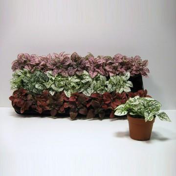 Planta De Interior - Planta Interior Hoja - Hypoestes Maceta 8,5cm