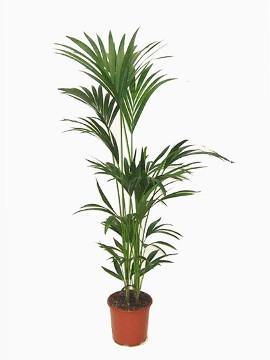 Planta De Interior - Planta Interior Hoja - Kentia Altura 110cm Maceta 17cm