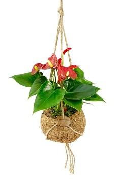 Planta De Interior - Planta Interior Hoja - Kokodama Anthurium 25cm