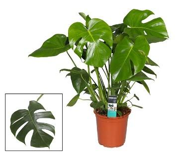 Planta De Interior - Planta Interior Hoja - Monstera Maceta 17cm Y Altura 60cm