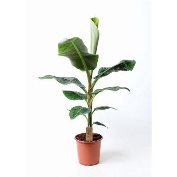 Planta De Interior - Planta Interior Hoja - Musa Dwarf Cavendish(platanera) C21