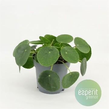 Planta De Interior - Planta Interior Hoja - Pilea Peperomoides Maceta 14cm Alto 15cm