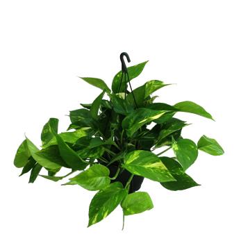 Planta De Interior - Planta Interior Hoja - Potho Maceta 15cm