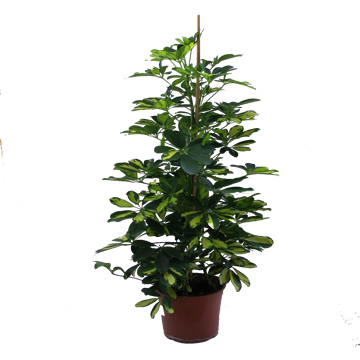 Planta De Interior - Planta Interior Hoja - Schefflera Gold Capella Altura 150cm Maceta 22cm