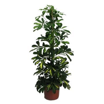 Planta De Interior - Planta Interior Hoja - Schefflera Gold Capella Altura 0,90 Cm Maceta 17cm