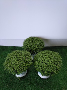Planta De Interior - Planta Interior Hoja - Soleirolia Maceta 11cm