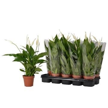Planta De Interior - Planta Interior Hoja - Spatiphyllun Blanco Maceta12cm