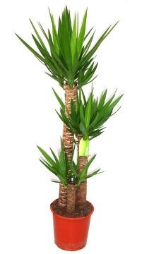 Planta De Interior - Planta Interior Hoja - Yucca  Altura Troncos 90/60/30cm Maceta 22cm