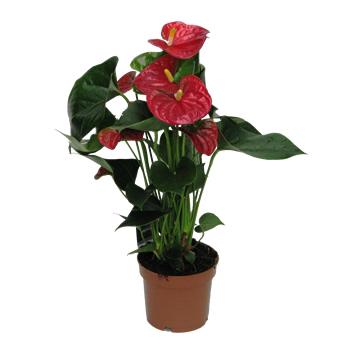 Planta De Interior - Planta Interior Flor - ANTHURIUM ALTURA 30/40CM C17 COLORES VARIADOS