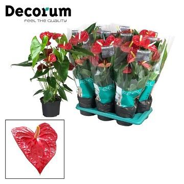 Planta De Interior - Planta Interior Flor - Anthurium Dakota Maceta 17cm