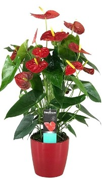 Planta De Interior - Todas - Anthurium Dakota 60cm Alto Rojo + Maceta 17cm