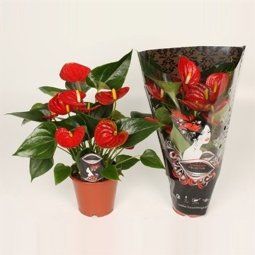 Planta De Interior - Planta Interior Flor - Anthurium Diamond Red Maceta 14cm
