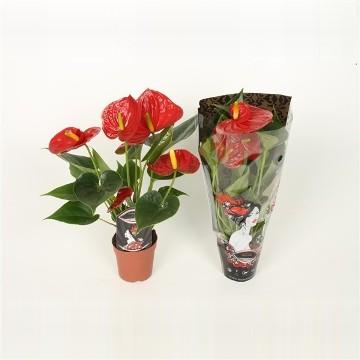 Planta De Interior - Planta Interior Flor - Anthurium Diamond Rojo Maceta 7cm