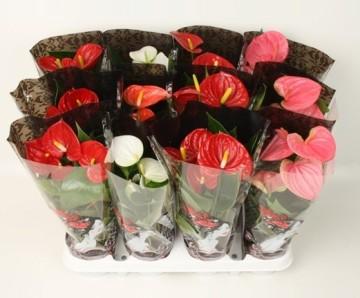 Planta De Interior - Planta Interior Flor - Anthurium Maceta 12cm