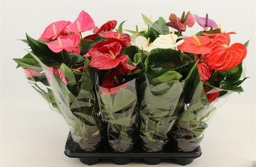 Planta De Interior - Planta Interior Flor - Anthurium Mix Maceta14cm Y Altura 40cm