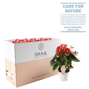 Planta De Interior - Planta Interior Flor - Anthurium Rojo Maceta 12cm  Y Altura 30cm