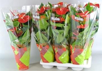 Planta De Interior - Planta Interior Flor - Anthurium Dakota 60cm Alto Rojo Y Maceta 17cm