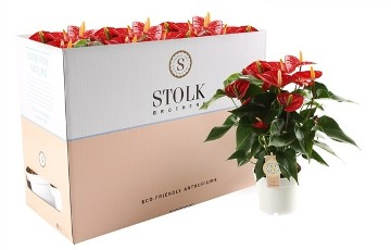 Planta De Interior - Planta Interior Flor - Anthurium Rojo Extra Maceta 14cm
