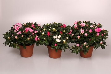 Planta De Interior - Todas - Azalea Mix Maceta 12cm