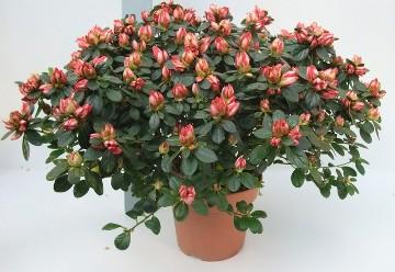 Planta De Interior - Planta Interior Flor - Azalea Jaspeada Blanca/roja Maceta 18cm