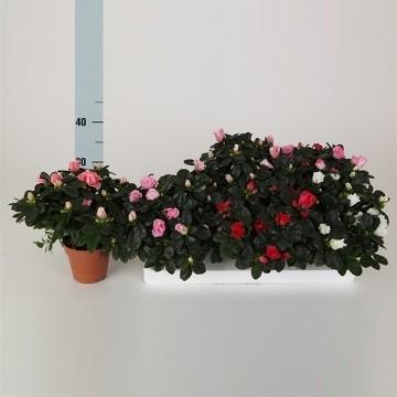 Planta De Interior - Planta Interior Flor - Azalea Maceta 13cm Y Altura 20cm