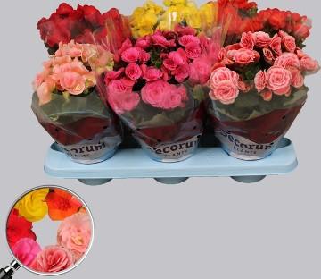 Planta De Interior - Planta Interior Hoja - Begonia Maceta12cm