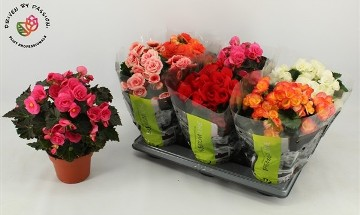 Planta De Interior - Planta Interior Flor - Begonia Elatior Mix Maceta 13cm