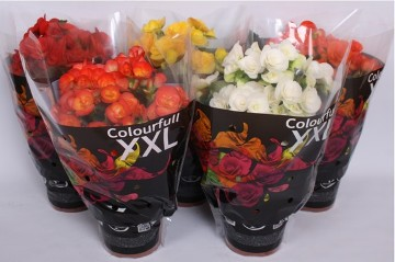 Planta De Interior - Planta Interior Flor - Begonia Elatior Flor Maceta 14cm
