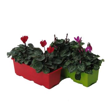 Planta De Interior - Planta Interior Flor - Cyclamen En Jardinera 40cm