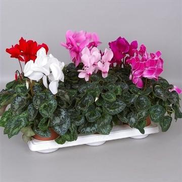 Planta De Interior - Planta Interior Flor - Cyclamen Maceta 13cm