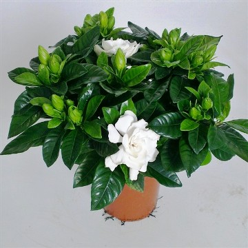 Planta De Interior - Planta Interior Flor - Gardenia Jasminoides Maceta 13cm