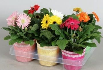 Planta De Interior - Planta Interior Flor - Gerbera + Funda Decorativa M12