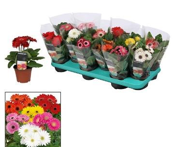 Planta De Interior - Planta Interior Flor - Gerbera Maceta 10cm