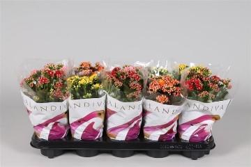 Planta De Interior - Planta Interior Flor - Kalanchoe Bloss Maceta 10,5cm