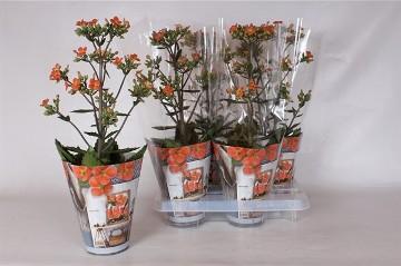 Planta De Interior - Planta Interior Flor - Kalanchoe Dorothy Naranja Maceta 14cm