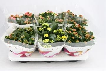 Planta De Interior - Planta Interior Flor - Kalanchoe Alto 15cm Y Maceta 15ccm