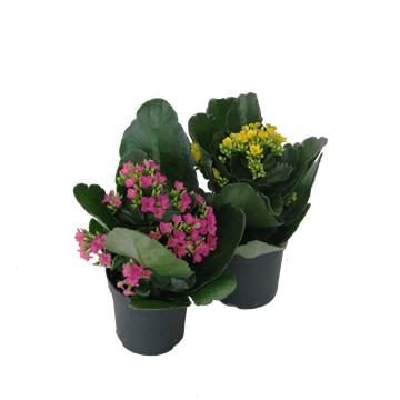 Planta De Interior - Planta Interior Flor - Kalanchoe Maceta 10.5cm