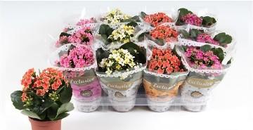 Planta De Interior - Planta Interior Flor - Kalanchoe Mix Maceta 9cm