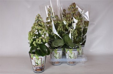 Planta De Interior - Planta Interior Flor - Kalanchoe Magic Bell M14