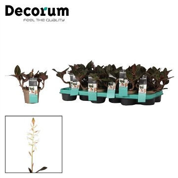 Planta De Interior - Planta Interior Flor - Ludisia Discolor Maceta 12cm
