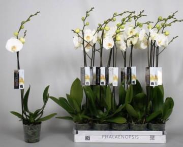 Planta De Interior - Planta Interior Flor - Orquidea 1 Vara Blanca Maceta 12cm